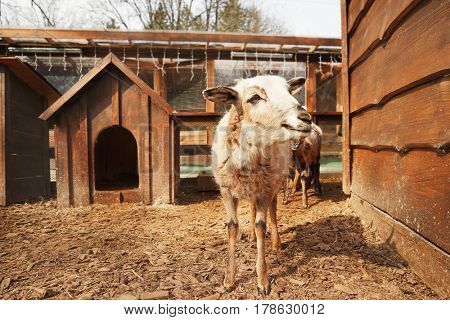Cute funny sheep in zoological garden