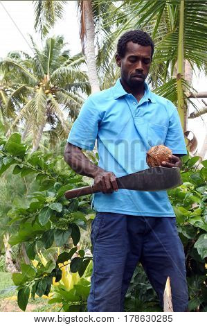 Indigenous Fijian Man Is About To Open A Coconut Palm Fruit In Fiji