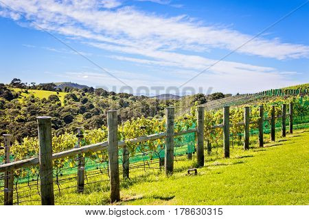 Rows of grape vines in wine vineyard