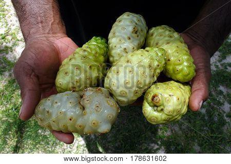 Fijian Noni Plant