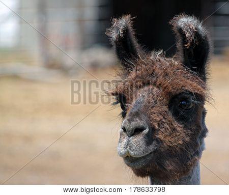 Closeup of a Furry and Grungy Alpaca