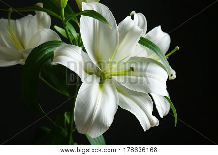 Beautiful white lilies on black background