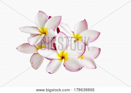 (With clipping path) Isolated beautiful sweet white flower plumeria frangipani