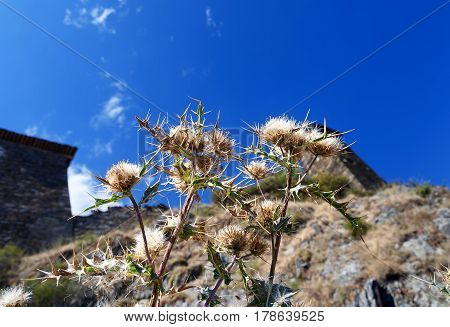 Cirsium Vulgare In The Autumn