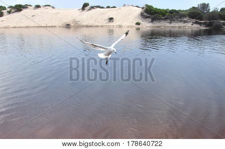 Seagull flying on beach. White seagull soaring in the blue sky over Crokers creek (Belmont - Nine Miles - Beach NSW Australia).