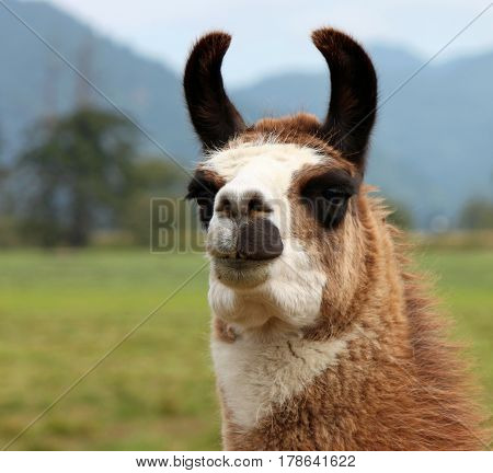 Closeup of a Brown and White Llama