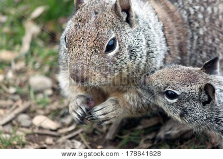 Closeup of a Mom and Baby Ground Squirrel