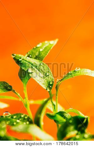 Green leaf of a young seedling pepper on an orange background