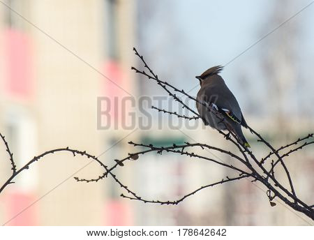 A lonely bird, waxwing, Bombycilla garrulus, sitting on a thin branch with blurred background of a city landscape