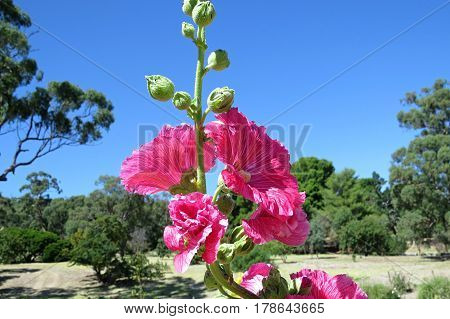 Bright pink hollyhock holly hock flower in bloom against a blue sky in garden