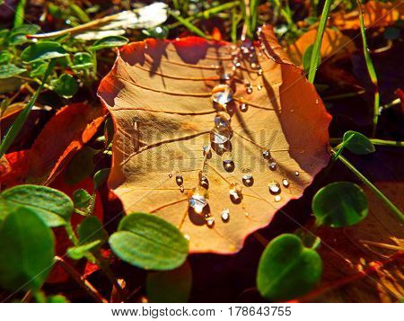 Dew drops on a fallen leaf in the sunset