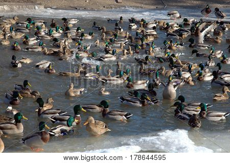 a bunch of mallard ducks male and female flock migratory on a cold pond in winter