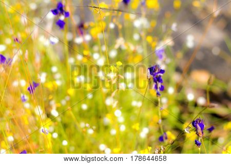 Flower Utricularia delphinoides Thor.ex Pell. blooming outdoor at Mukdahan Nation Park Thailand.