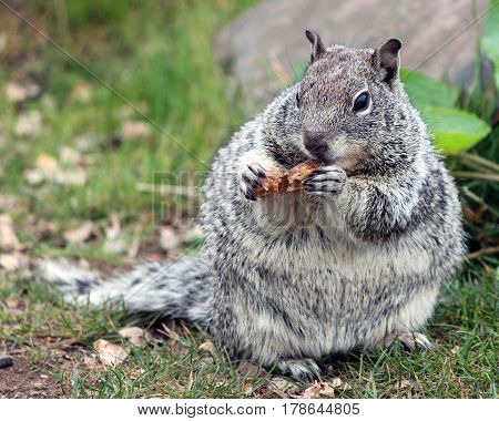 Chubby Grey Squirrel Munching on a Peanut