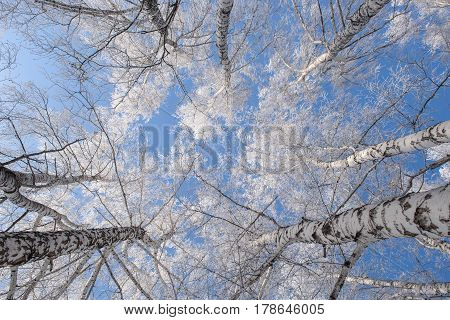 View from below on the trunks of the birch. Winter, cold, hoarfrost.