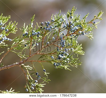 Thuja Outdoors . Beautiful nature in the open air