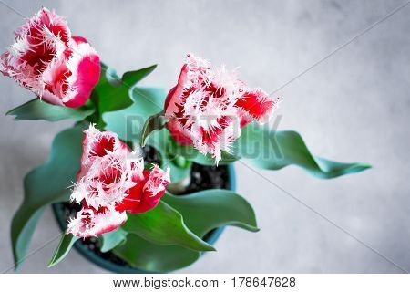 Beautiful terry tulips grown at home in a pot Top view with copy space