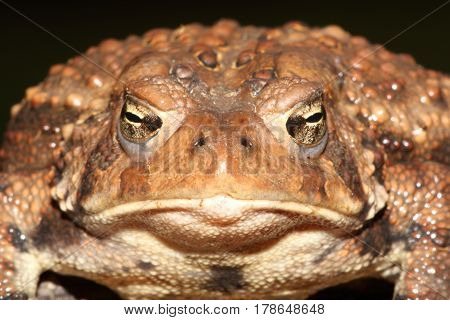Female American Toad (Bufo americanus) with a black background