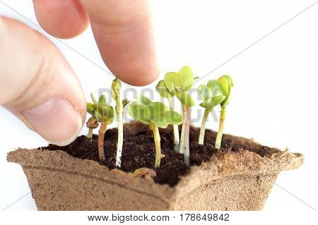 Seedlings of radish fingers touch the young Sprouts.