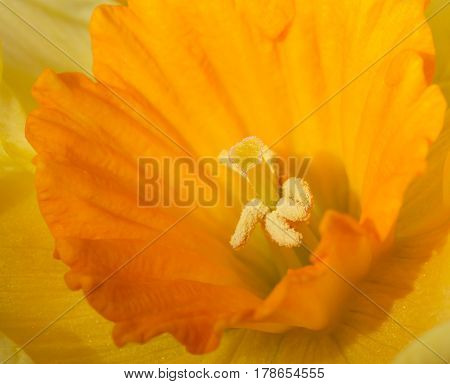 Close up image of an orange daffodil