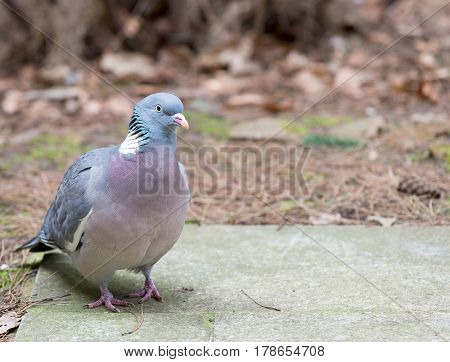 Close up wood pigeon standing on a concrete slab