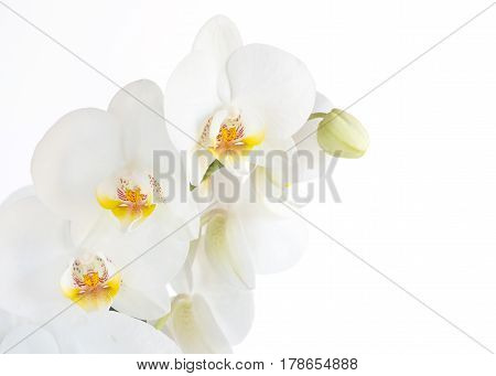 Close up Phalaenopsis moth orchid flowers on white background