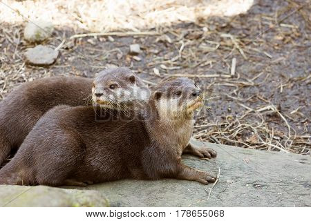 Eurasian otter (Lutra lutra) resting on a rock
