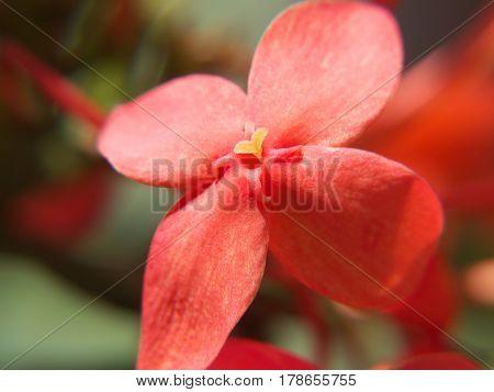 Pequeña flor color rosado con centro amarillo