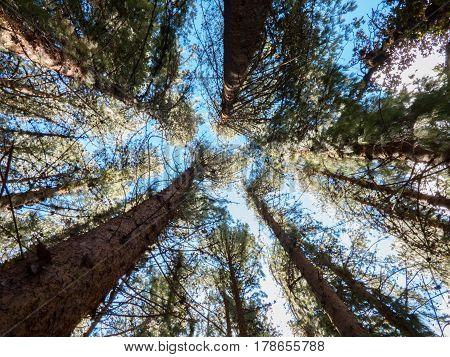 Bosque de pinos visto desde perspectiva de abajo
