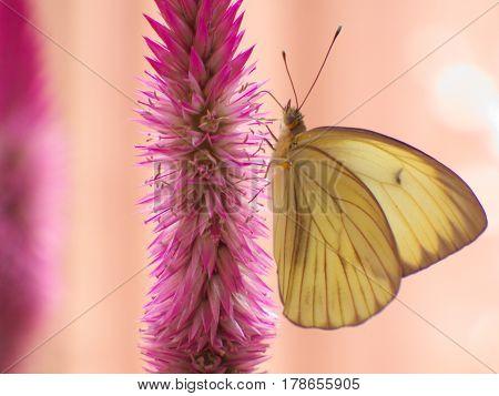Mariposa amarilla posada sobre flor de amaranta