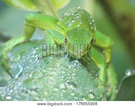 Iguana joven verde sobre hoja con gotas de agua