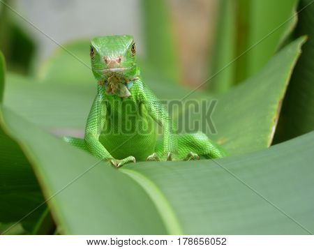 Close up iguana verde joven sobre hoja grande