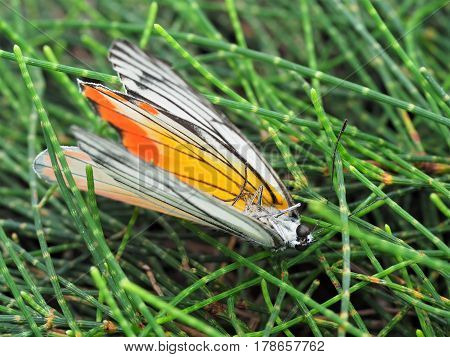 Isolated Beautiful Butterfly Dead On Grass Background