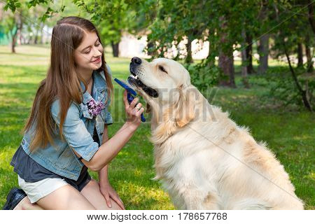 The content of Labrador. The pleasure and the joy of hygiene. A young girl cares for dog fur outdoors. The owner of a pure breed dog fur golden retriever.