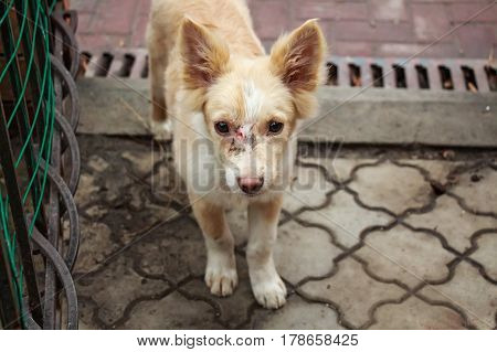 Closeup of cute young stray dog with face injure standing on pavement
