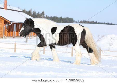 Amazing Stallion Of Irish Cob Running In Winter