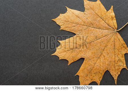 one old foliage maple as the isolated object closeup on a black or dark background