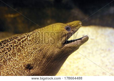 big brown moray underwater close-up