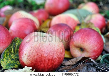 close-up of colorful organic apples in the orchard