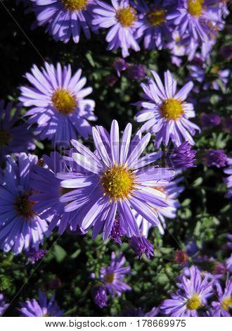 Beautiful bushy aster flower in a natural garden environment