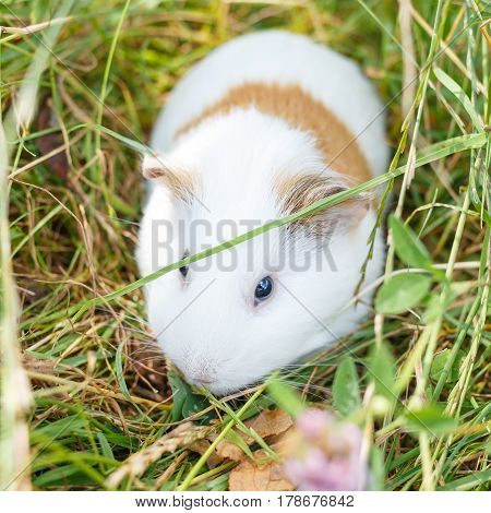 Cute white guinea pig eating grass in park