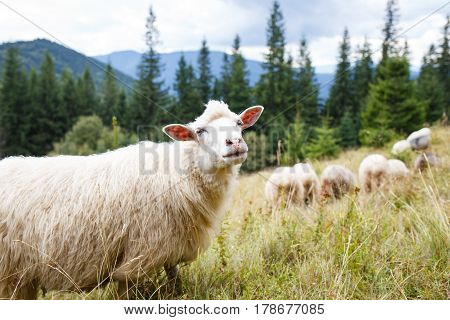 Grazing sheep flock on the pasture in mountains. Image with copy space