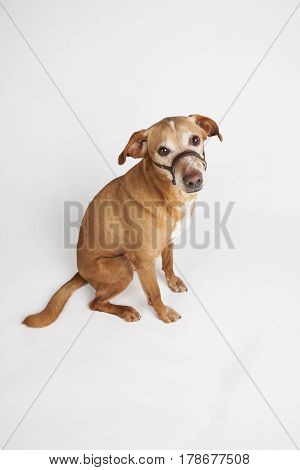 Brown dog with halter sitting on the white background. Animals training.