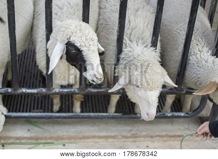 Sheeps in farm. Close up sheep of face with selective focus.