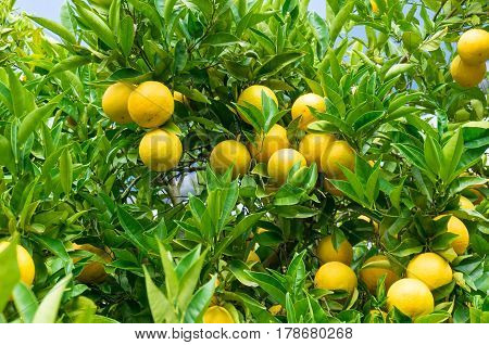 Bright Ripe Oranges On Tree Surrounded By Green Leaves