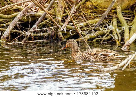 Image of a wild duck floating on a river along the shore