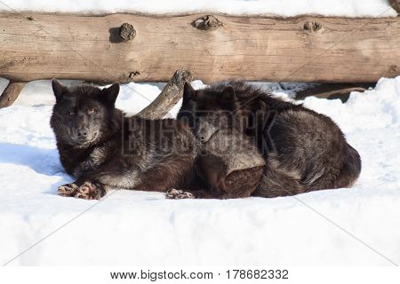 Two black canadian wolves are basking in the spring sun.