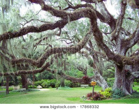Confederate Oak At Dunlawton Plantation