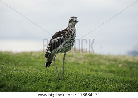 Bush Stone-curlew Resting On The Beach.