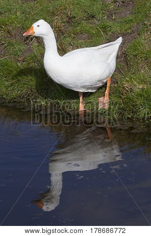 white geese leaves meadow and enters blue water of canal